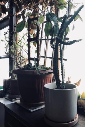 My cactus in 2018